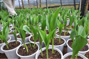 cach-trong-hoa-tulip