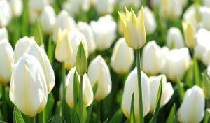 hoa-tulip-trang